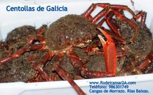 CENTOLLAS DE GALICIA.LAS CENTOLLAS DE GALICIA